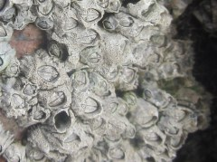 Pitting on the surface of some of the barnacles is caused by a marine lichen
