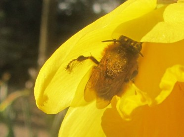 Male hairy footed flower bee, complete with hairy feet.