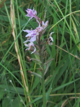 A single common spotted orchid on the University of Reading campus: small sign of wild hope
