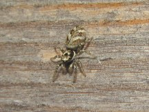A jumping spider on the shed wall, probably a pale specimen of Salticus scenicus