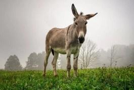 Sognare un asino, sognare un somaro o sognare un mulo: cosa significa?