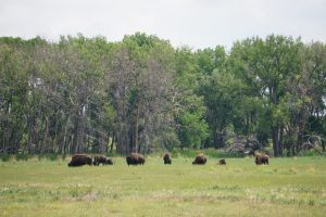 Herd of Bison in Denver, Colorado
