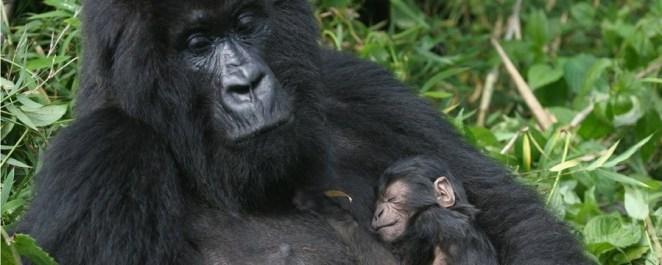 Gorilla with its newborn | Photo credits: | youtube.com