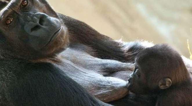 Gorilla breastfeeding its baby | Photo credits: koalakin.com