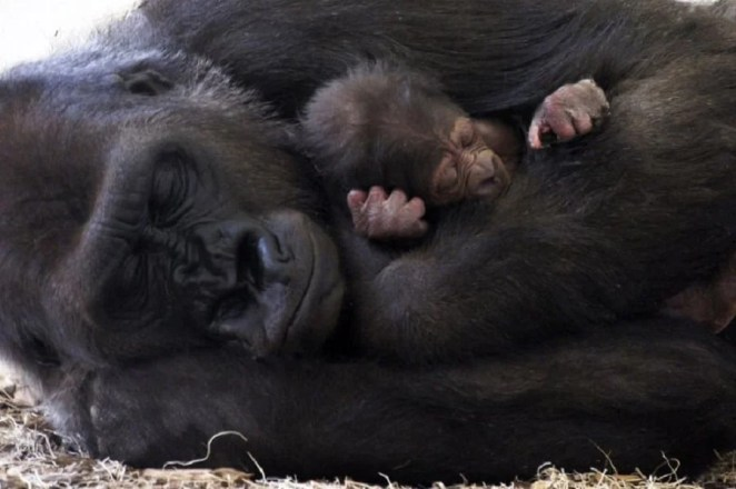 Gorilla with her baby warmly and affectionately cuddled during sleep | Photo credits: zooborns.typepad.com