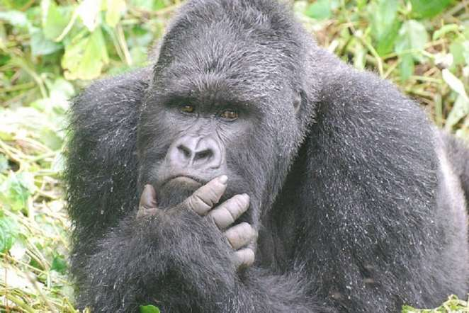 Gorillas are emotional just like humans and could be affected by sad events   Photo credits: greatapetrust.org