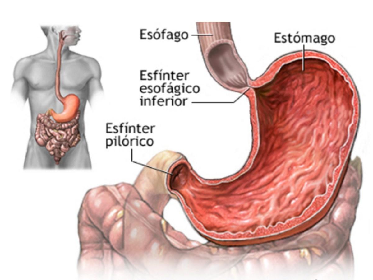 Para qué sirve el estómago? | MÉDICO ESPECIALISTA EN DIGESTIVO SANTA ...