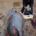 Cuvier's Beaked Whale washed up in Doonbeg, Co Clare