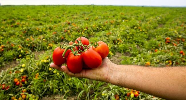 Guloso está a vender tomates pela primeira vez