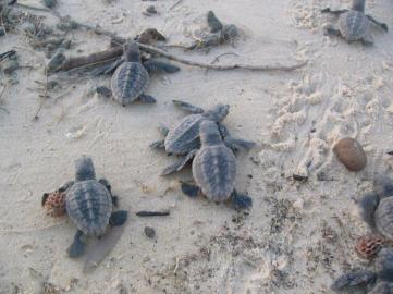 Hatchlings scurrying to the water