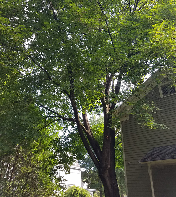 Before photo of a tree that was removed