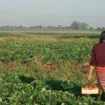 Uruguay exhibirá su desarrollo rural en foro regional de la FAO en Jamaica