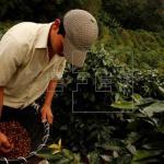 Producción de café en Colombia cae un 6 % en el primer trimestre de este año