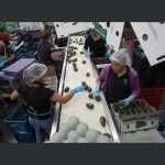 Aguacates colombianos cumplen requisitos para ser exportados a Argentina
