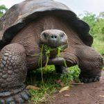Descartan efectos a tortugas gigantes por erupción del volcán en Galápagos