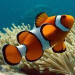 Las rayas del pez payaso juegan un papel en la organización social