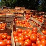 Productores argentinos de tomates denuncian trabas para exportar a Paraguay