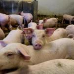 """China reconoce que el brote de peste porcina africana es """"muy grave"""""""