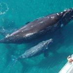 La ballena gris llega a los santuarios mexicanos de Baja California Sur