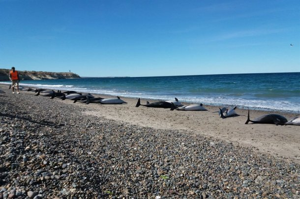 Caminaban por las playas de Puerto Madryn y se encontraron con un panorama nunca visto: 49 delfines muertos