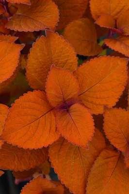 Coleus-Campfire-17595-BallFloraPlant