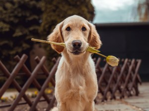 A dog sitting with a flower in his mouth