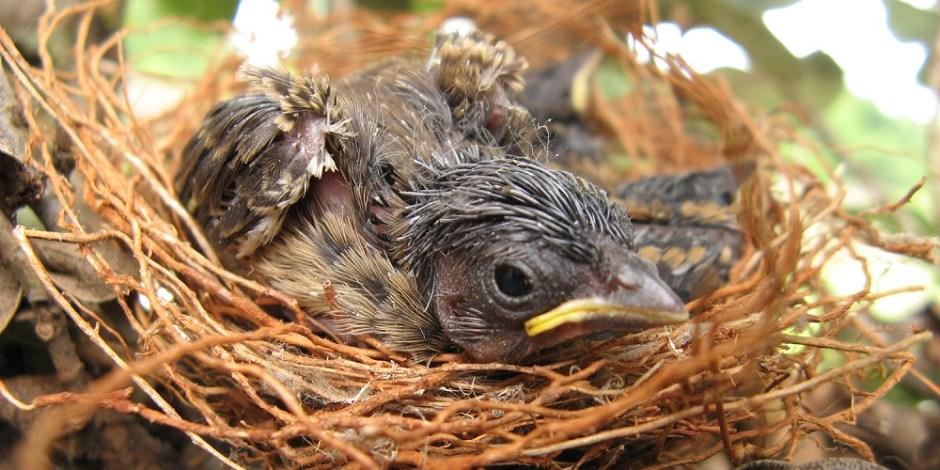 Passarinho recém nascido em seu ninho em uma árvore. Ele ainda é pequeno, mas parece prestes a voar.