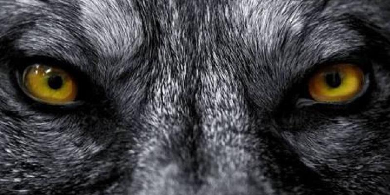Olhos de lobo.