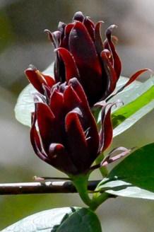 Sweetshrub 2