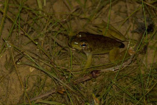 Froglet.jpg