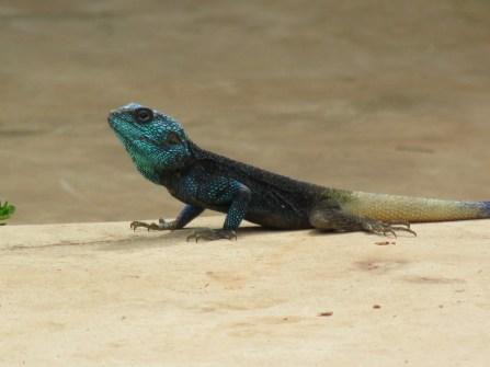 Blue Lizard