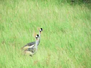 Royal crested Crane