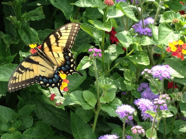 Butterfly at Dumbarton Oaks