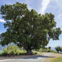 A beloved old oak tree, popular spot for picnics, overlooking Lime Kiln Canyon.