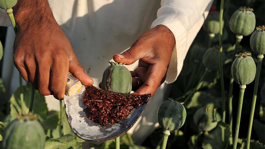 Un agricultor cosecha las semillas de una planta de amapola.
