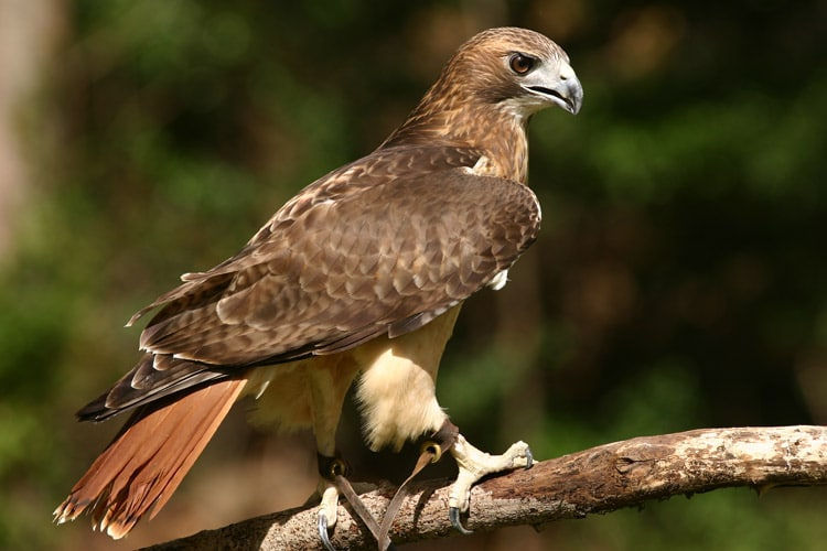 Red tails are a starter bird for a keen apprentice