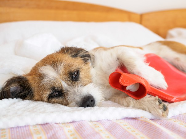 dog with hot water bottle on a bed