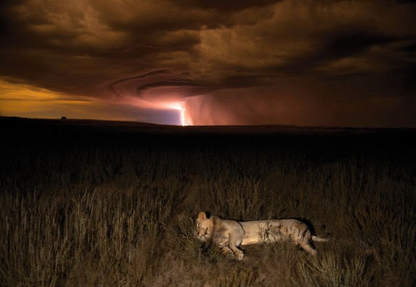 A lion in a storm.