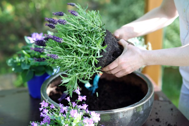 Filling container with lavender (iStock/PA)