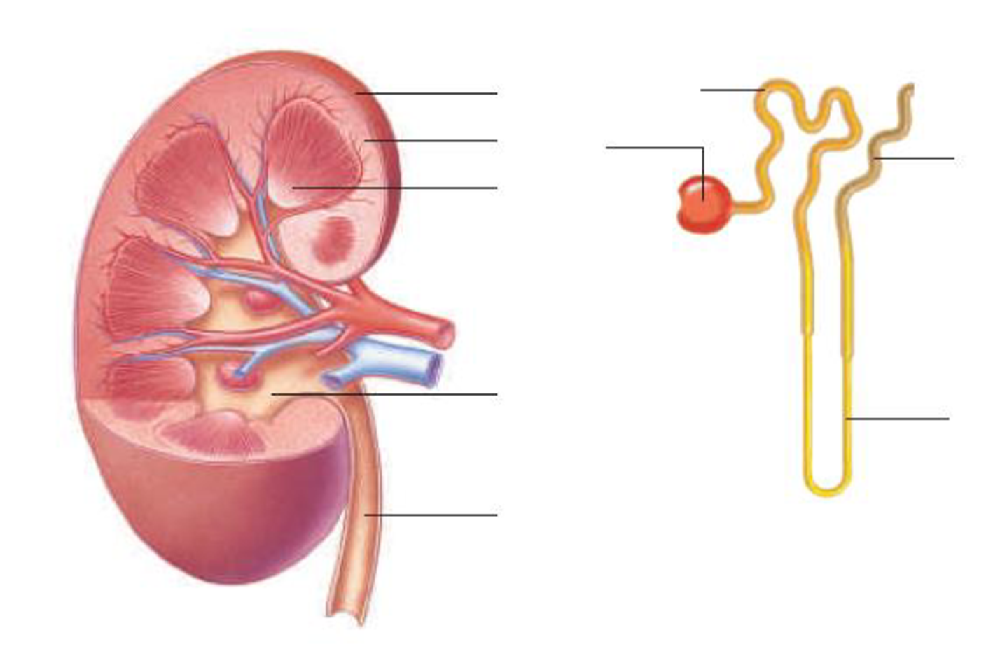Label The Parts Of This Kidney And Nephron