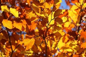orange leaves in the fall