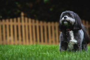 Small black and white dog sitting on a green lawn with a wooden fence behind him.