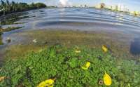 Algae washes ashore along the Lake Trail near the Flagler Museum on July 1. Photo by Lannis Waters for the Palm Beach Daily News.