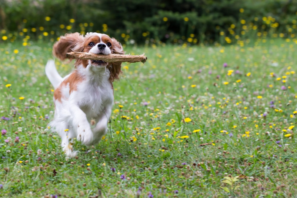 Cavalier King Charles Spaniels are great for apartments