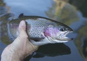 Holding rainbow trout