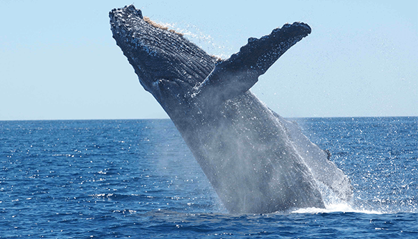 A large whale is halfway out of the water, about to breach.