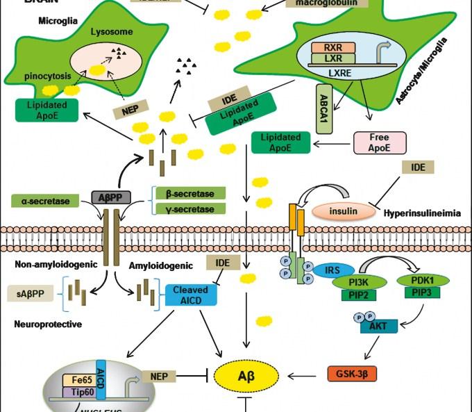 「insulin degrading enzyme」の画像検索結果