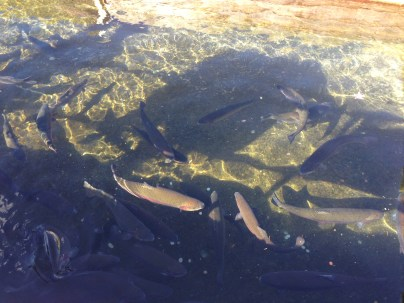 Rainbow Trout at the Bonneville hatchery
