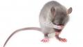القصرين:وفاة الرضيع الذي قضمه فأر