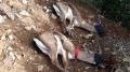سليانة: إطلاق أول قطيع من غزال الأطلس بجبال السرج